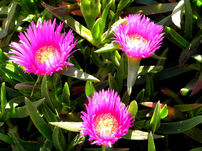Цветы-суккуленты на мысе Рока
