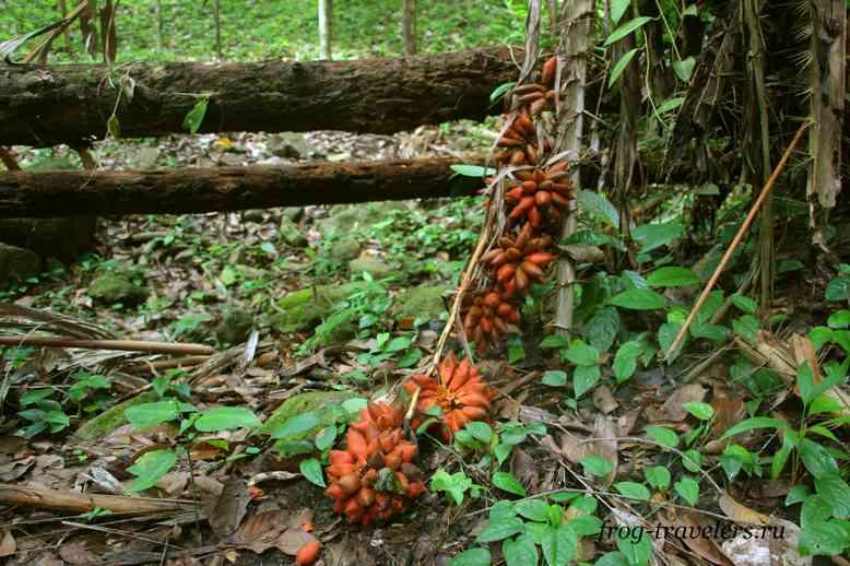 Как растет змеиный фрукт