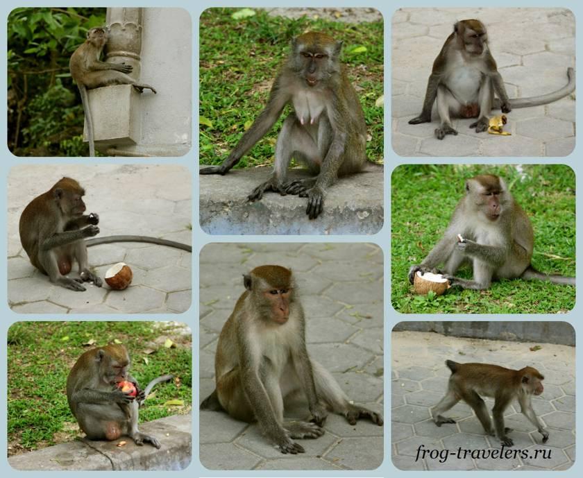 Обезьяны в Малайзии