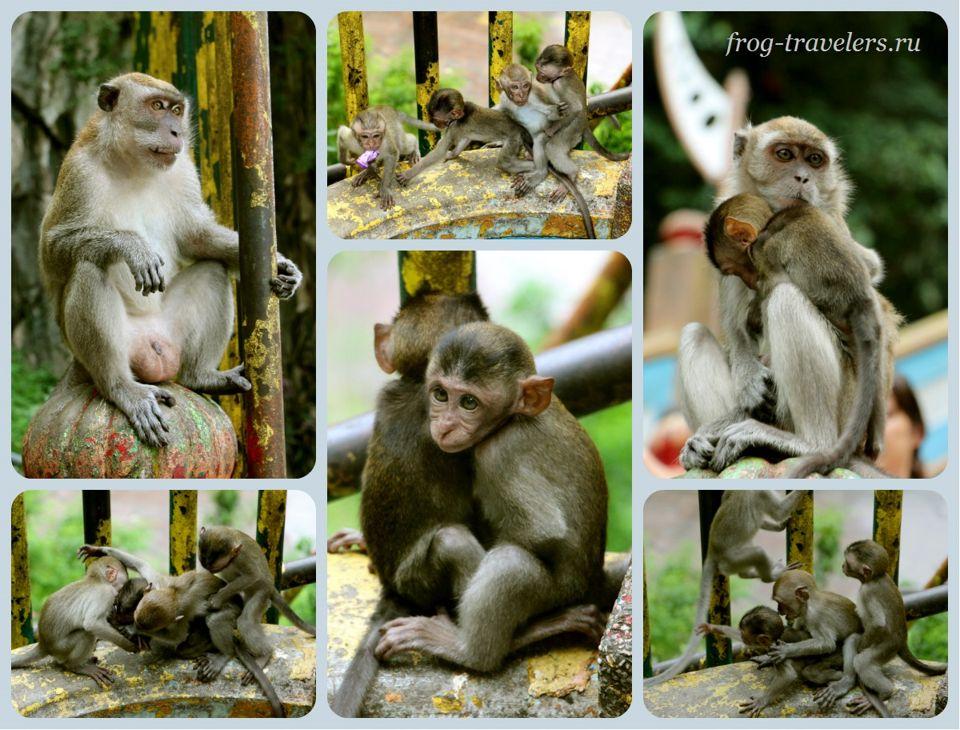 Обезьяны в Куала-Лумпур