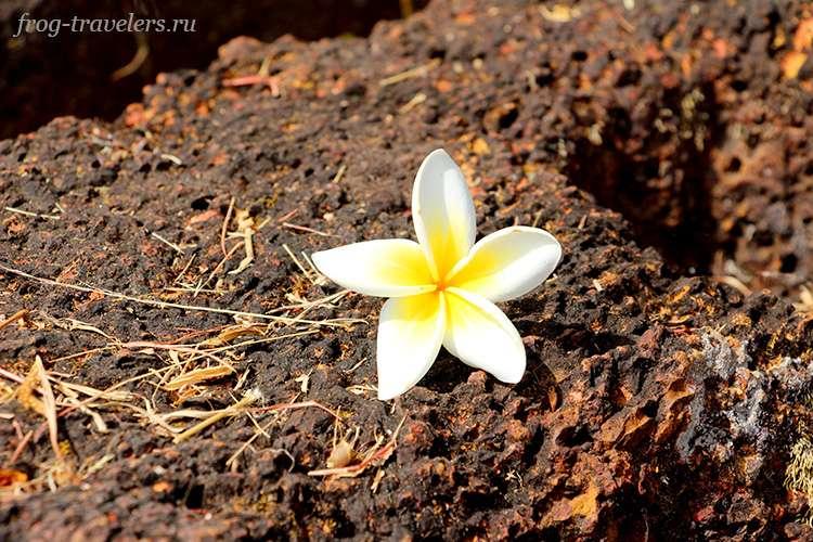 Плюмерия – национальный цветок Лаоса