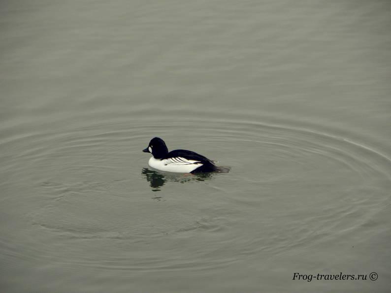 Самец нырковой утки гоголь фото