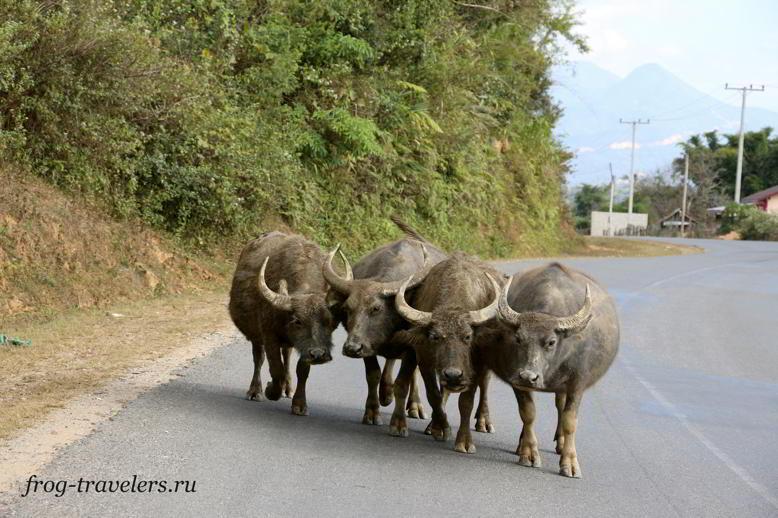 Буффало на дорогах Лаоса
