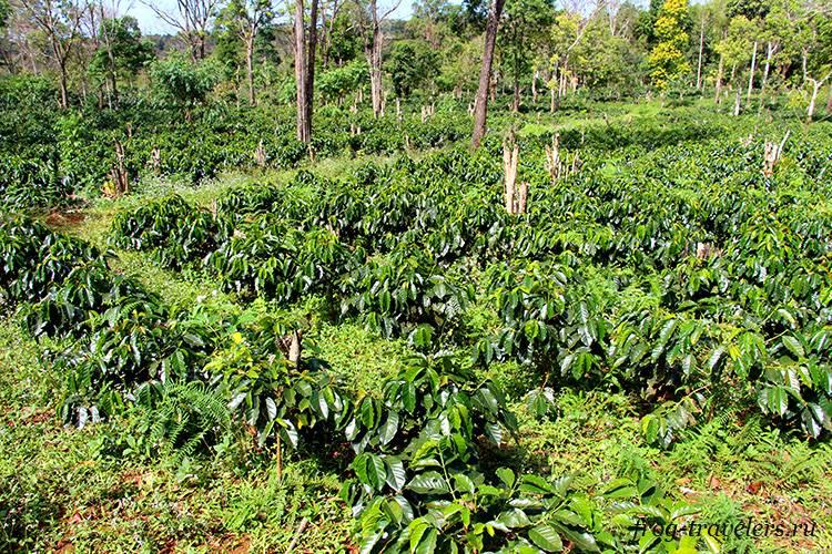 Кофейные плантации в Паксонге