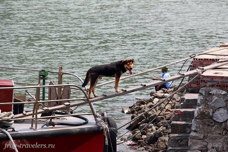 Собаки Северный Вьетнам