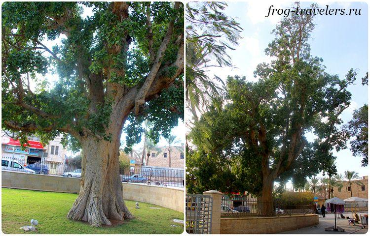 Дерево Закхея